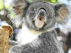 Koalas now listed as 'vulnerable'