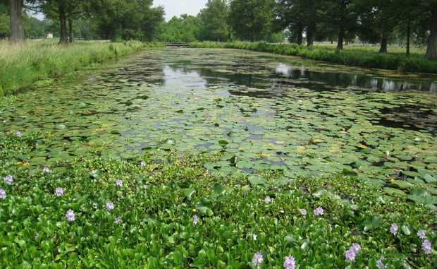 War has been declared on Water Hyacinth.