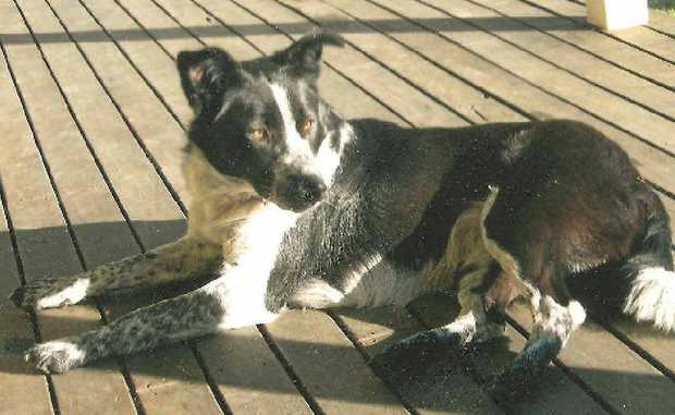Five-year-old border collie-cross Lilly, belonging to Robyn Cowan, was found dead at Whiteman Creek.