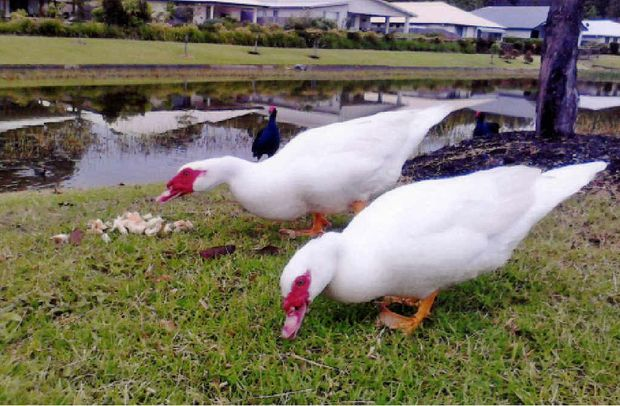 Could these ducks pictured on Coffs cr4eek on the weekend be the pair which recently vanished from The Lakes Estate?