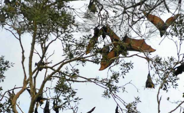 Having a few less flying foxes around is unlikely to hurt.