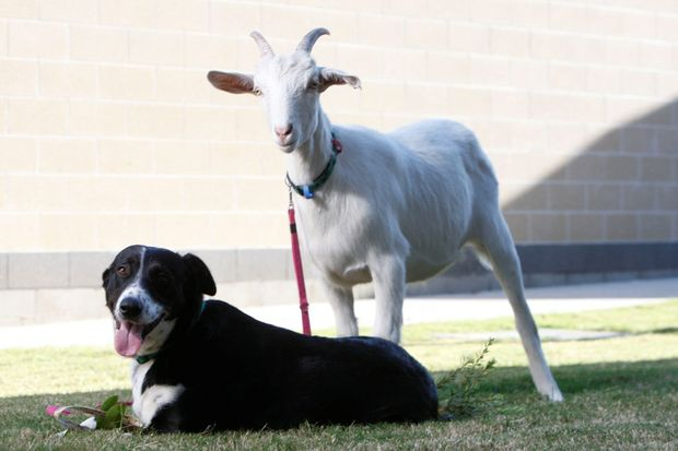 RSPCA Wacol residents Mizzy (dog) and Bullseye (goat) can't live without each other and are looking for a home together.