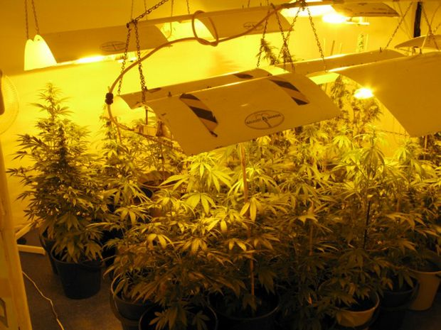 Some of the 163 hydroponic cannabis plants worth an estimated $870,000 and a replica pistol seized at a Casino residence on Wednesday morning.