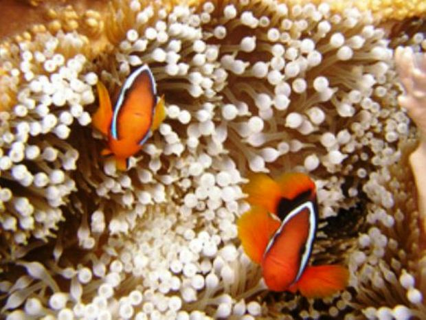 The Solitary Island's anemone populations could be at grave risk due to rising ocean temperatures.