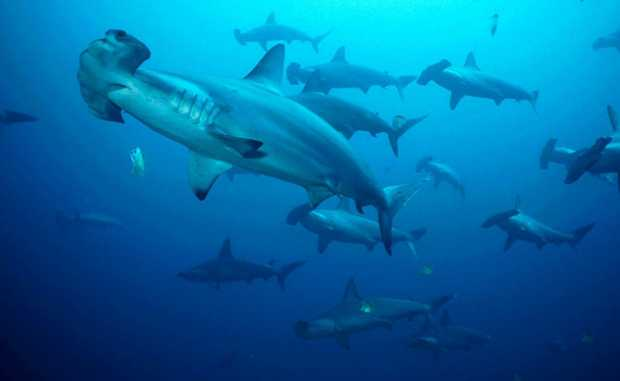 Hammerhead sharks have been added to the protective species list in NSW.