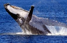 Whale lovers around the world are leaping for joy.