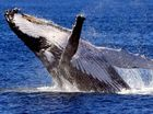 JAPAN is opposing a sanctuary for migratory whales and argues International Whaling Commission should put commercial interests before the environment.