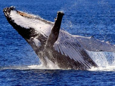 Japan and other countries are opposing a proposed whale sanctuary.