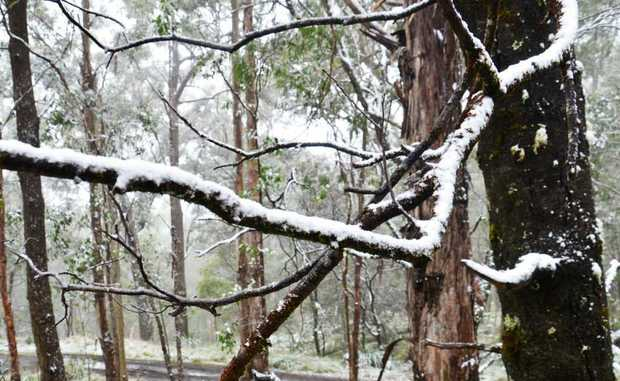 Snow smothered the trees at Tenterfield just this week. Do you have historical photos of when it snowed around the Southern Downs? Email us.
