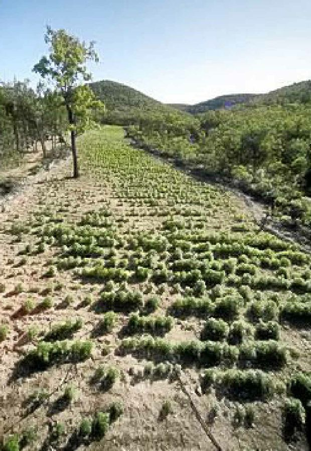 Some of the 22,000 plants found at Inglewood, near Warwick, in 2008. Michael Gardner Snr got 13 years in jail yesterday for production and trafficking.