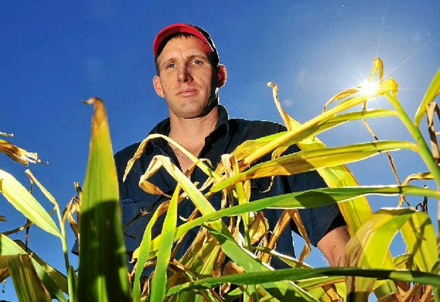 Ginger growers fear risks from imported ginger.