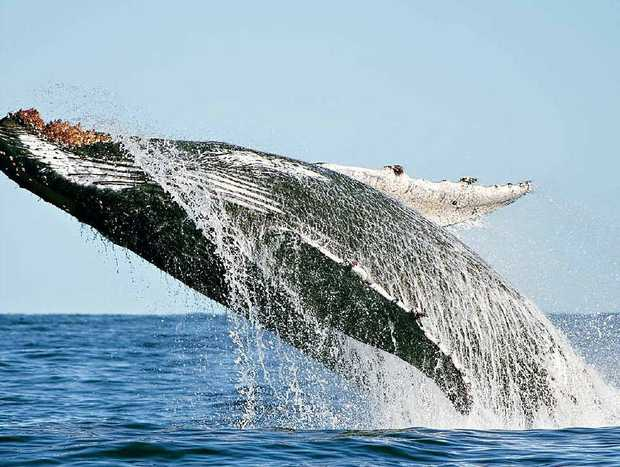 """Crabber Richard Freeman took these magnificent photos as a pod of whales cavorted around his boat. """"I was lucky enough to capture several breach shots, this is one of them,"""" Mr Freeman said."""