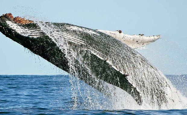 "Crabber Richard Freeman took these magnificent photos as a pod of whales cavorted around his boat. ""I was lucky enough to capture several breach shots, this is one of them,"" Mr Freeman said."
