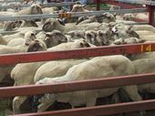 WARWICK selling agents yarded 990 lambs and hoggets and 336 sheep at the weekly sale yesterday.