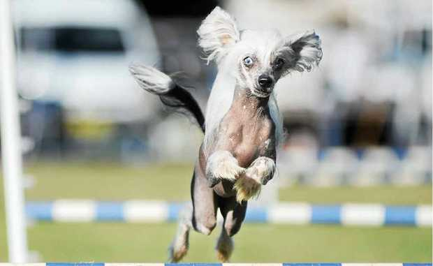 Yum Cha, the Chinese Crested hairless dog from Brisbane shows how to fly.