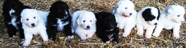Wayne Gillam has bred an unusually coloured litter of maremma puppies. The dogs are instinctively protective and make great guardians and pets.