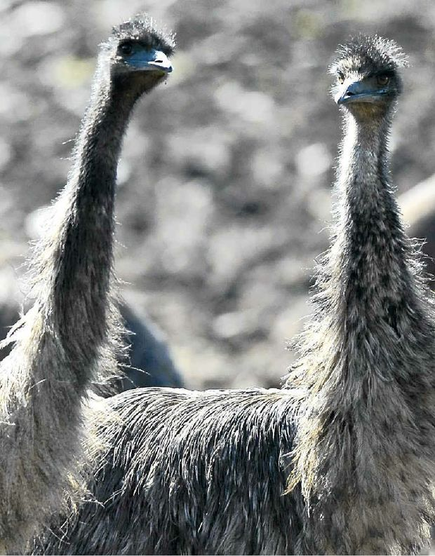 Coastal emus grazing next to the Pacific Highway at Tyndale.