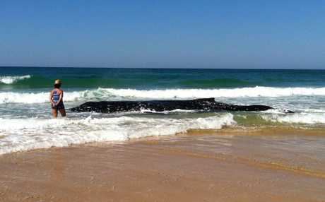 A 10.2 metre humpback whale is stranded in the shallow surf on Sandon Beach. The animal clings to life but National Parks rangers don't believe it has long to live. The animals deteriorating condition makes a rescue effort impossible.