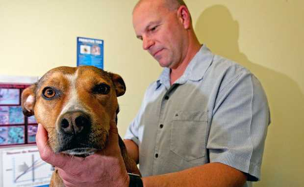 "Vet Dr Matthew Casey gives ""Chloe"" the staffy the once over for ticks."