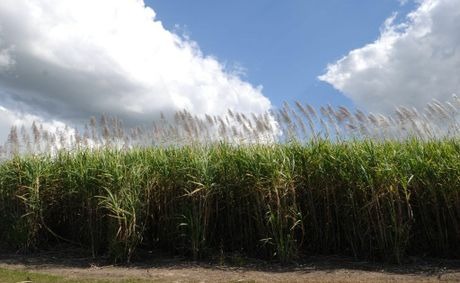 This year's cane harvest will be one of the smallest the Valley has seen in the past 20 years due to
