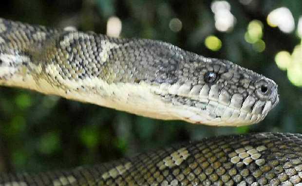 A coastal carpet python.