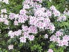 Some azaleas to tempt you.