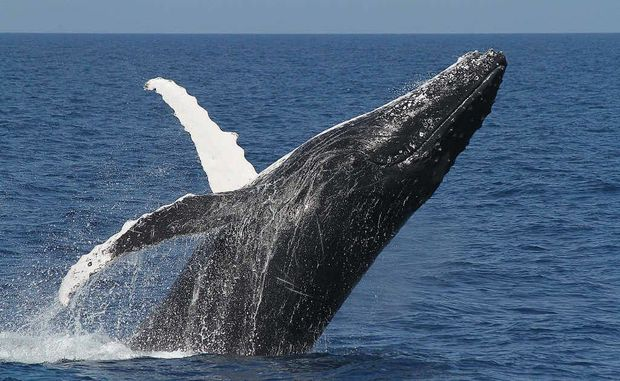 Would you swim with the humpbacks?