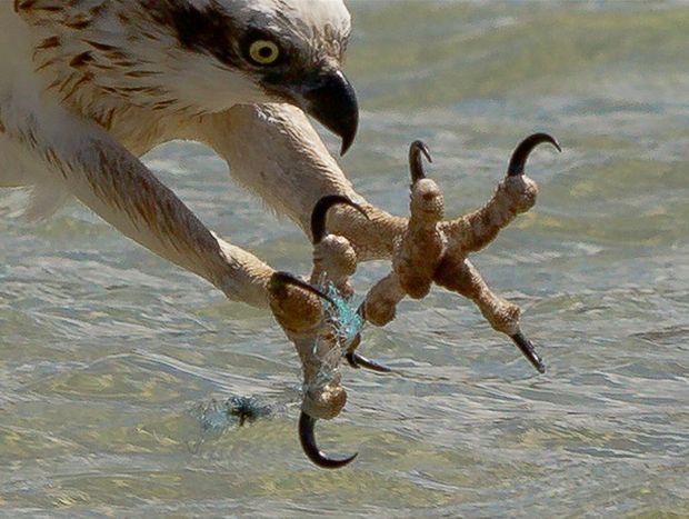 Photographer John van den Broeke captured this image of an osprey struggling with fishing line.