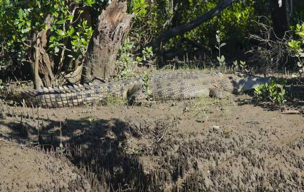 A local says rangers have received credible information the crocodile was seen going up Saltwater Creek.