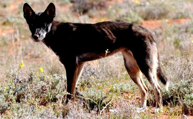 Net Worth Pet Dog Industry Australia