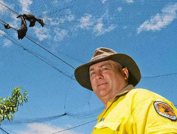 Greg Wallace, National Parks and Wildlife Senior Ranger and the dead flying foxes. Photo: Rob Wright/The Coffs Coast Advocate