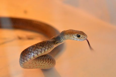 JOE BLAKE: Snake catcher Anthony Zink wants people to be aware that snakes like this eastern brown are out in numbers. Photo: Scottie Simmonds / NewsMail