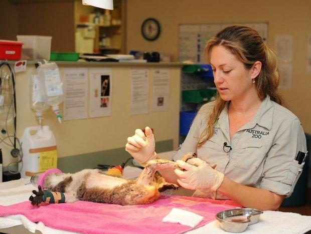 Australia Zoo Wildlife Hospital senior veterinarian, Dr Amber Gillett dresses Peta the koala's wounds.