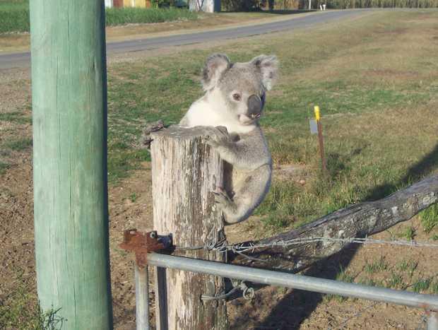 Koala found climbing on fences and up power poles.