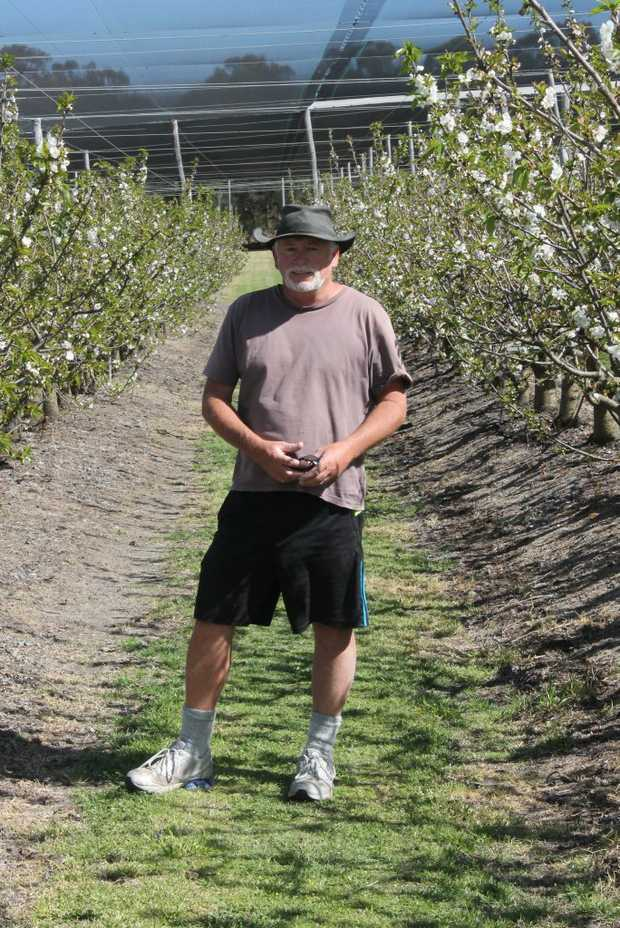 Cherry Park orchardist Graham Minifie prepares his trees for fruiting.