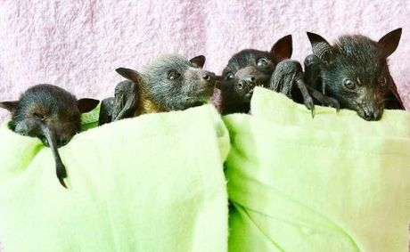 ORPHANED: These three-week-old flying foxes were orphaned when their mothers died after becoming entangled in fruit tree netting. They are now being cared for by the Wildlife Hospital at RSPCA Wacol.
