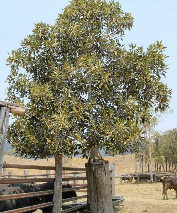 HEIGHT ADVANTAGE: Planting a strangler fig high off the ground protects it from grazing animals.