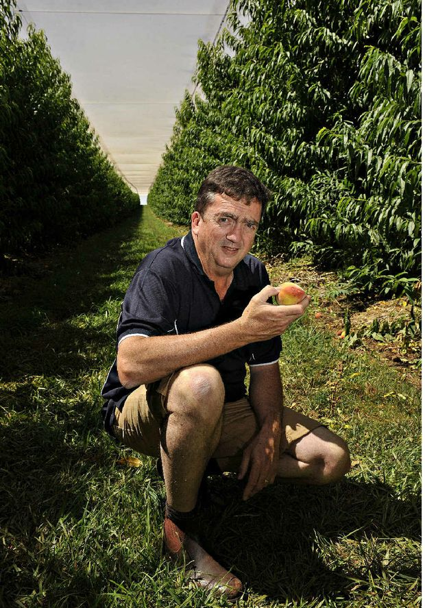 ORCHARD DEAL: Chris Dundon among the rows of fruit trees in Chapel Orchards at Childers.