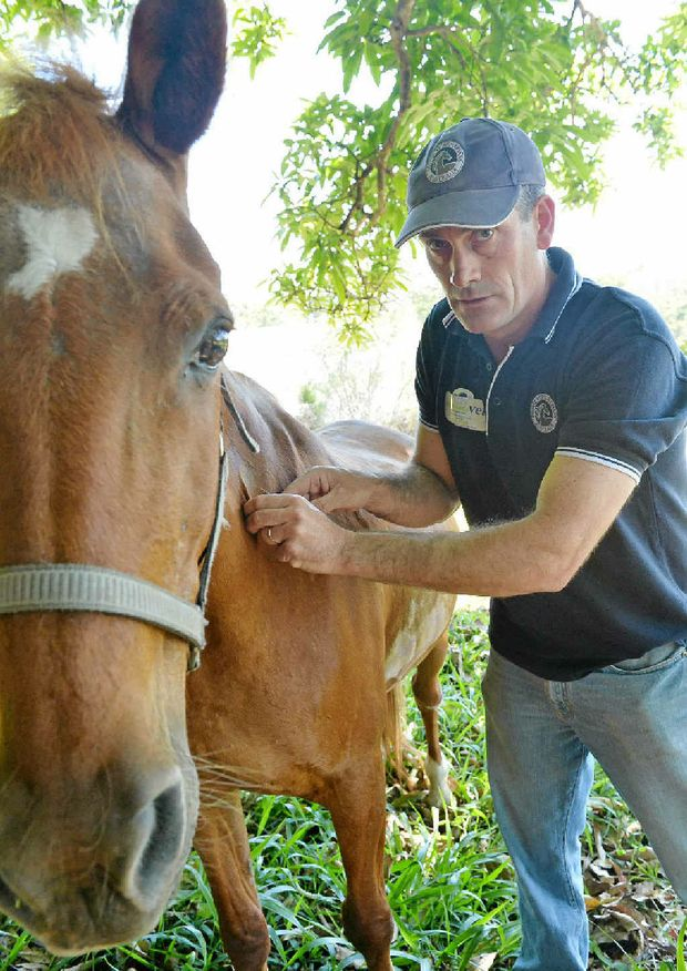 A vet administers the hendra vaccine