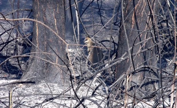 Wildlife has been greatly affected by the bushfires in Narangba and Burpengary. Photo Nicole Fuge / Caboolture News
