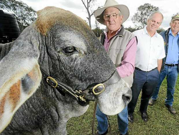 HOW BIG: Merlene, with Max Johnson (left), was a star attraction at the Grafton Show this year, with people asked to guess her weight.