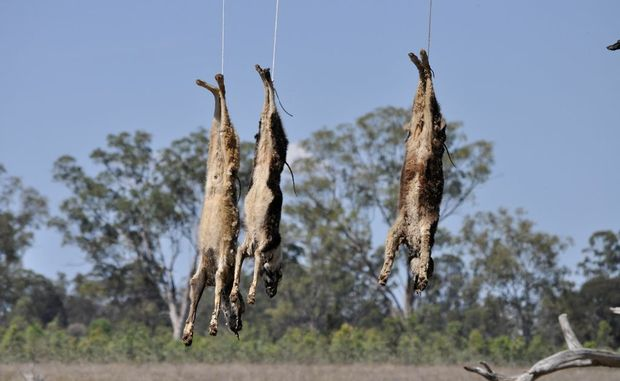 The three dogs hung around five metres from the fenceline at a Ducklo property.  Photo Gen Kennedy / Dalby Herald