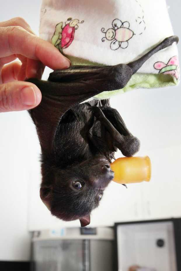 Baby flying foxes at the RSPCA Wacol. Photo: Inga Williams / The Satellite