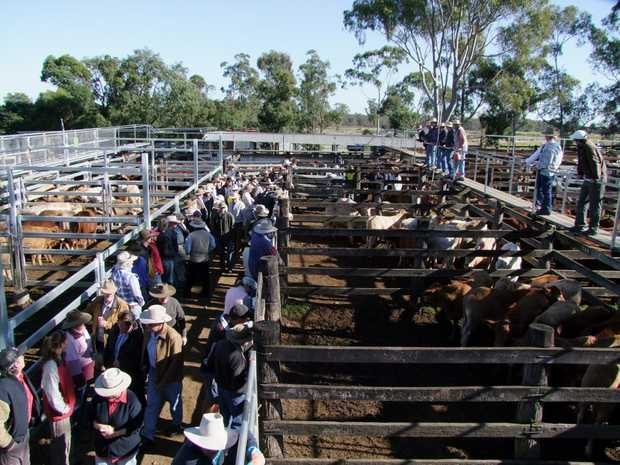 LOTS OF CATTLE: The Murgon Saleyards saw 450 head of cattle yarded today.