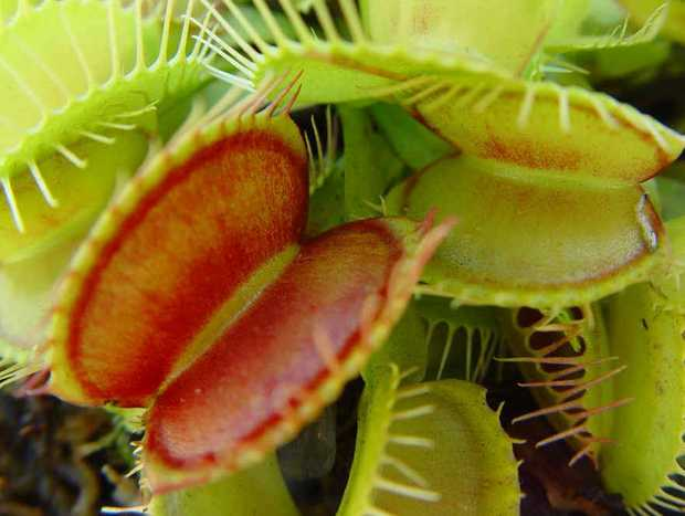 Venus Fly Traps are easy to grow, needing a minimum of four hours direct sunlight each day.