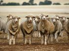 Weather: It's a lousy time to be a sheep at Tenterfield