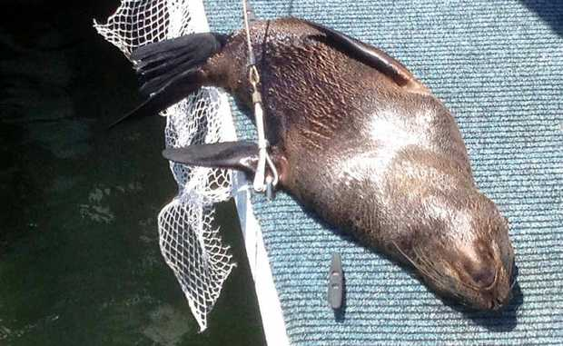 He may be a long way from home but this New Zealand fur seal appears to have found himself a new residence on the back deck of a houseboat in Carlo Creek.
