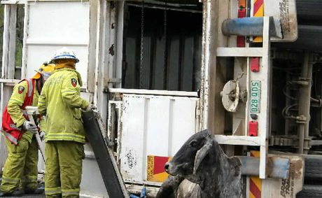 Rural firefighters and truck drivers worked to free the cow