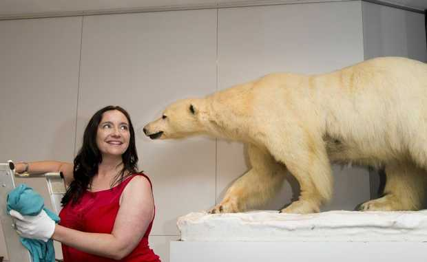 "Cobb+Co Museum deputy director Debbie Bailey with a polar bear from the ""What do you collect"" exhibition."