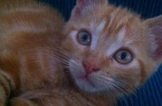 Maya is a very loving and playful kitten who is always keen to entertain you.